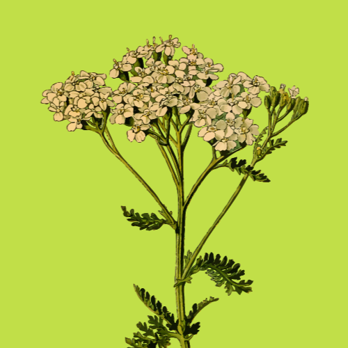 yarrow with green background
